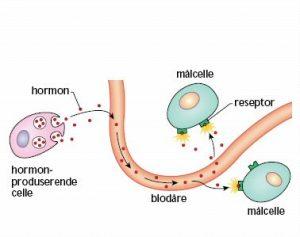 kontaktpunkt mellom reseptor og synapse